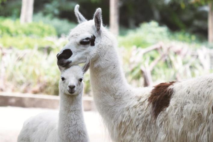 炎炎夏日,马上迎来六月小朋友们最喜欢的一个节日六一儿童节。在这个专属于小朋友的节日里,不仅可以收获满满的祝福和礼物,还可以和深圳野生动物园里一大波动物宝宝们过个快乐的节日。 萌宠小动物邀你一起过趣味六一 野生动物园里,处处可见萌逗有趣的小动物们。看,乖巧的环尾狐猴宝宝,正紧紧抓住妈妈的背,睁着圆圆的眼睛望着你呢;勤劳的火烈鸟宝宝,正在努力跟爸妈学捕食本领,等它长大了,就会跟爸妈一样鲜红亮丽;温柔的黑颈天鹅宝宝,妈妈的羽翼就是它们永恒的庇护所;温顺的羊驼宝宝,白白净净的是不是特别萌萌哒? 还有帅气的阿拉伯