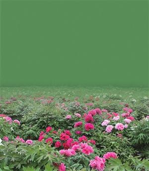 深圳野生动物园上演国色天香牡丹展